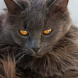 Gray Cat With Attitude — Stock Photo