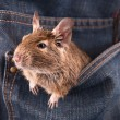 Degu in pocket — Stock Photo #10501306