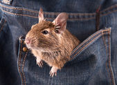 Degu in the pocket — Stock Photo