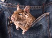 Degu in the pocket — Stock Photo