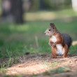 Red squirrel — Stock Photo #8765281