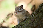 Curious chipmunk — Stock fotografie