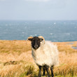 Sheep in beautiful landscape — Stock Photo