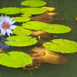 Lilly Pads and Flower in Pond — Stock Photo