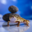 Gecko reptile, Lizard — Photo