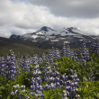 Iceland flowers — Stock Photo #8836344