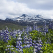 Iceland flowers — Stock Photo