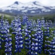 Iceland flowers — Stock Photo #8837408