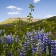 Iceland flowers — Stock Photo #8837433
