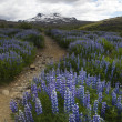 Iceland flowers - Zdjcie stockowe