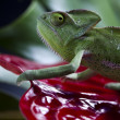 Stock Photo: Chameleon and flower