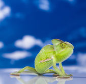 Chameleon on the blue sky — Stock Photo