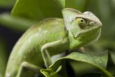Chameleon on the leaf — Stock Photo
