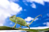 Chameleon on the blue sky — Stock Photo