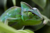 Lizard families, Chameleon — Stock Photo