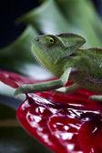 Chameleon and flower — Stock Photo