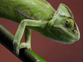 Green animal, Chameleon — Stock Photo