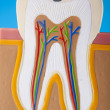 Royalty-Free Stock Photo: Tooth anatomy