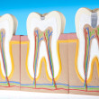 Human tooth structure — Stock Photo
