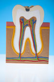 Tooth anatomy — Stock Photo
