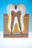 Tooth anatomy — Stock Photo