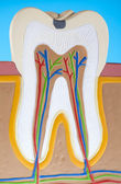 Anatomy of the tooth — Stock Photo