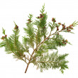 Stock Photo: Cedar Leaves