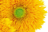 Sunflower Sunshine — Stock Photo