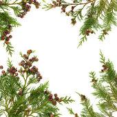 Cypress Leaf Border — Stock Photo