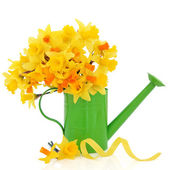 Daffodil and Narcissus — Stock Photo