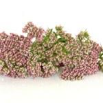 Valerian Herb Flowers — Stock Photo