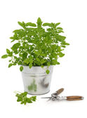 Marjoram Herb Plant — Stock Photo
