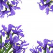 Iris Flower Beauty — Stock Photo