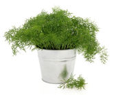 Dill Herb Plant — Stock Photo
