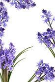 Bluebell Flower Border — Stock Photo