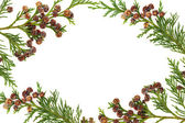 Cypress Leyland Leaf Border — Stock Photo