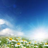 Papatya çiçekleri — Stok fotoğraf