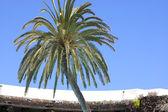 Tropische palmboom — Stockfoto