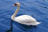Un cigno bianco sull'acqua — Foto Stock