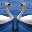 A couple of white swan — Stock Photo