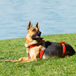 Foto Stock: Germshepherd sits on lawn