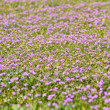 Lilac flowery meadow — Stockfoto