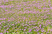 Lilac flowery meadow — Stock Photo