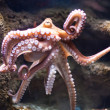 Stock Photo: Ethereal octopus from depth (Octopus vulgari)