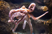 Ethereal octopus from the depth (Octopus vulgari) — Stock Photo