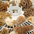 Stock Photo: Drying Morel Mushroom