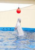 белый кит — Стоковое фото