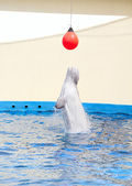 Ballena blanca — Foto de Stock