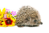 Hedgehog with flowers — Stock Photo
