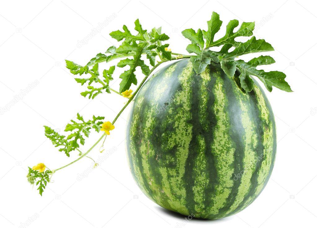 在白色背景上的葡萄藤上的西瓜— 照片作者 paleka